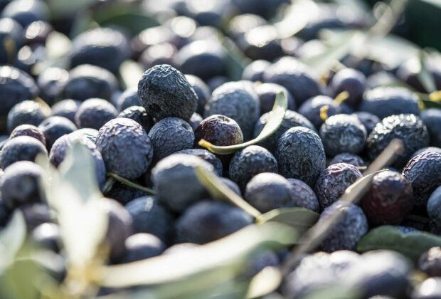 L'olive de Nyons