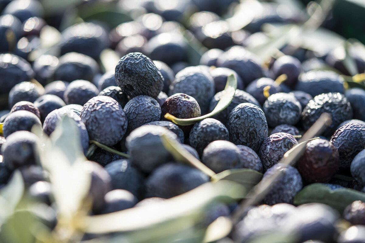 L'olive de Nyons (10)